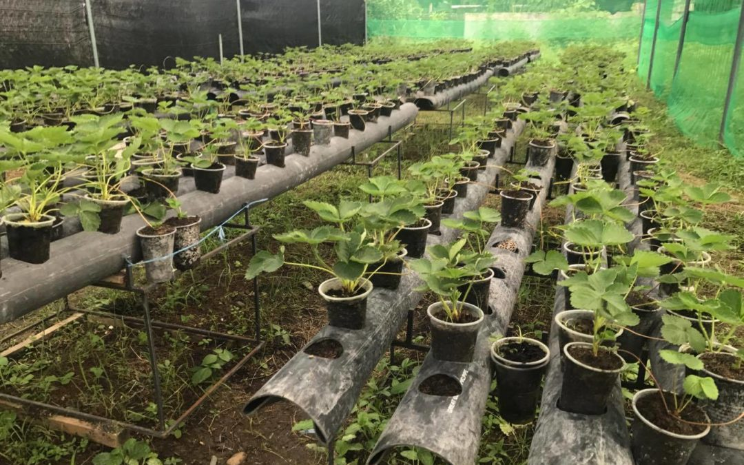 Strawberry Greenhouse in Bulacan