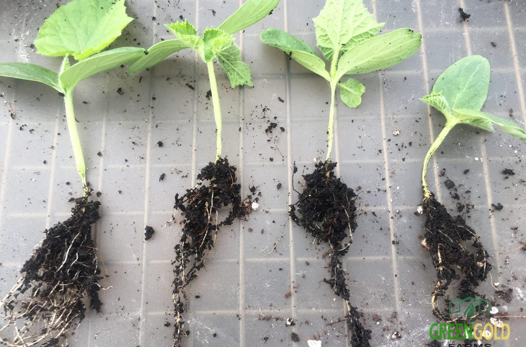 Root Problems in Cucumber Seedlings