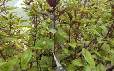 How To Prune Basil For Higher Yields